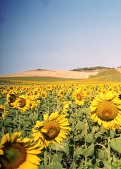 Padang Bunga Matahari