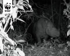 Borneo Rhino