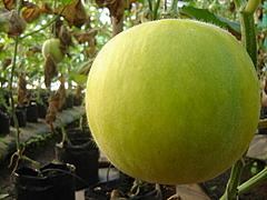 Melonnnn
