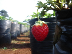 Strawberry field - 1