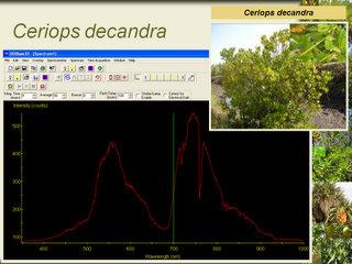 Hasil untuk Ceriops decandra