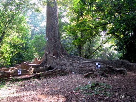 Pohon sebagai obyek pemindaian 3D TLS